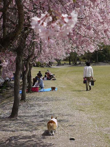 枝垂れ桜の下を歩く4.11