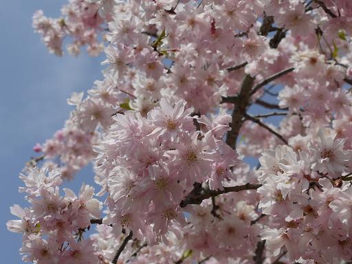 森林公園の枝垂桜4.11