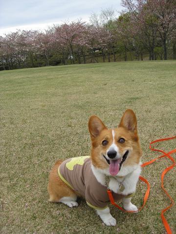 桜の終わった日進4.15