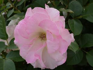 うすピンクのバラ5.15
