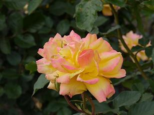 黄色ピンクのバラ5.15