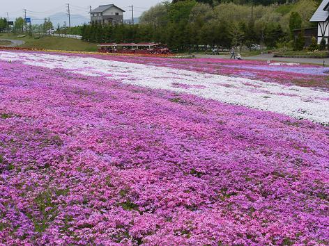 牧歌の里の芝桜