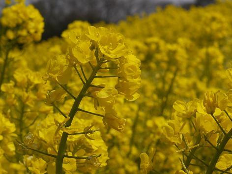 菜の花3.31