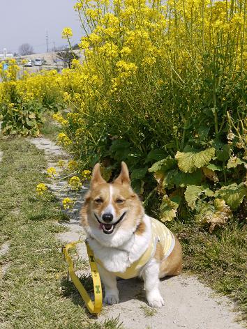 菜の花畑にて3.31