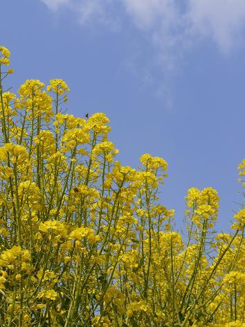 青空と菜の花3.31