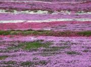 東藻琴芝桜まつり縮小1