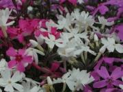 東藻琴芝桜まつり縮小2
