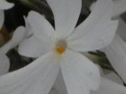 東藻琴芝桜まつり縮小3