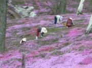 東藻琴芝桜まつり縮小4