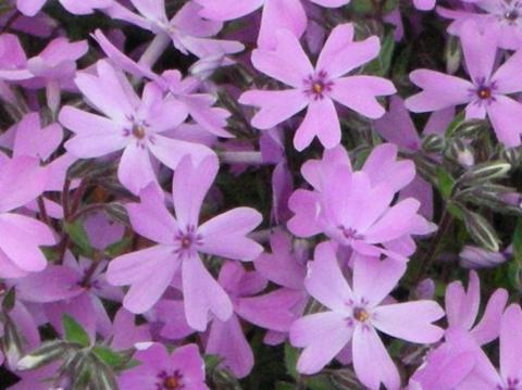 東藻琴芝桜まつり6
