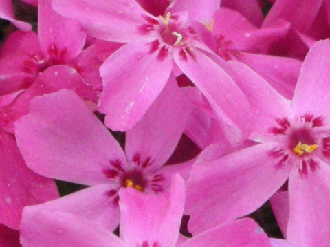 東藻琴芝桜まつり8