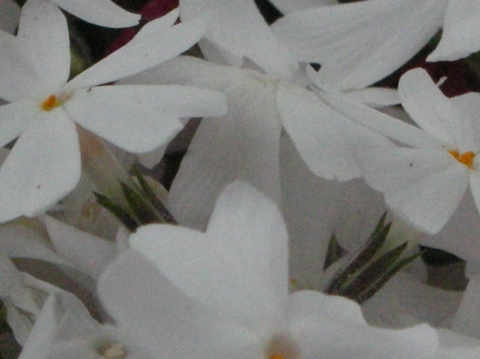 東藻琴芝桜まつり9