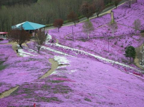 東藻琴芝桜まつり11