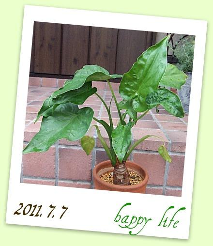 クワズイモ 2011.7.7 ②