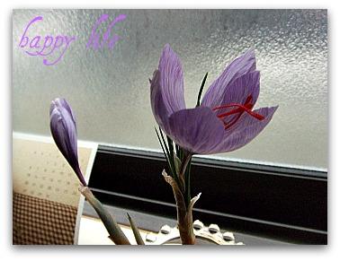 サフランのお花が咲いた