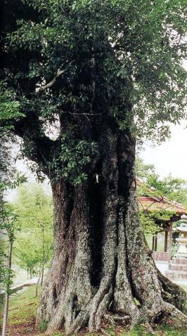 豊栄町畝山神社のオオツクバネガシ