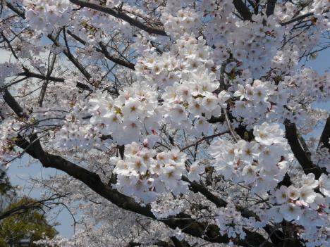 満開の桜と青い(?)空