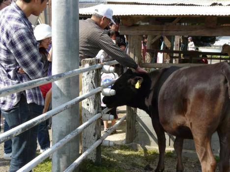 豊栄町 トムミルクファーム 牛さん