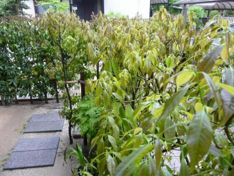 悠太郎の庭木 その1