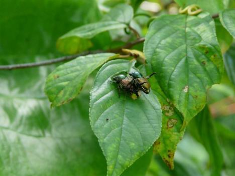 昆虫の交尾