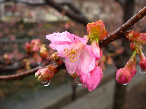 雨に濡れる桜 2