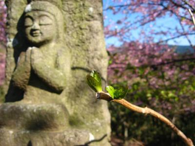紫陽花の芽吹き