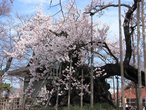 山高神代桜 2