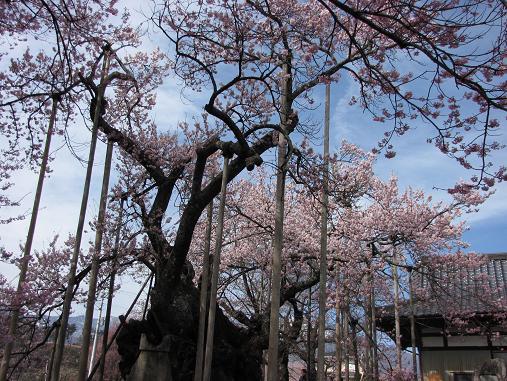 山高神代桜 3