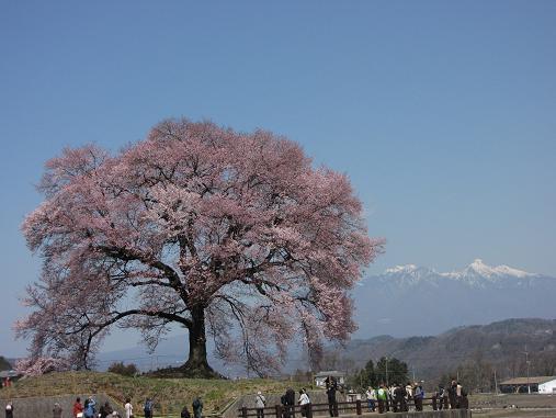わに塚の桜 2