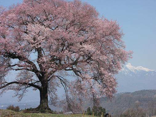 わに塚の桜 3