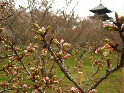 御室桜 2