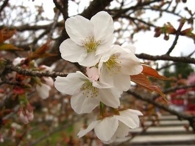 御室桜 三分咲き