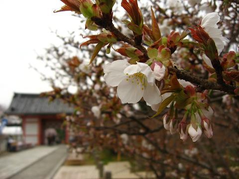 御室桜 三分咲き2