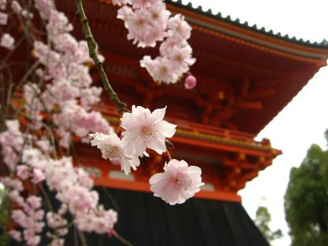 仁和寺 枝垂れ桜2