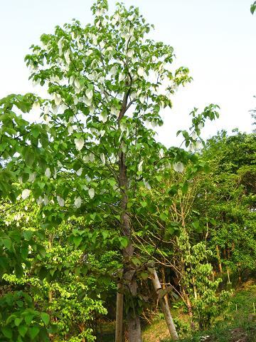ハンカチの木 3