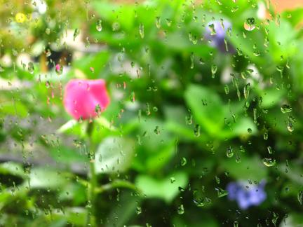 窓越しのバラと紫陽花