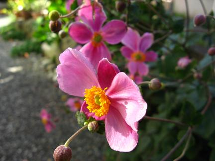 今年もシュウメイギクが咲きました!