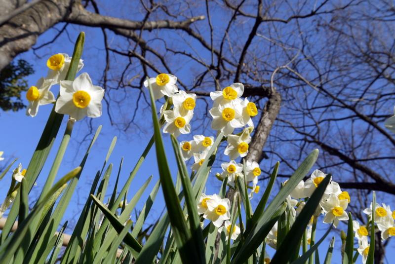 daffodil 2011-02-01 14-54-09
