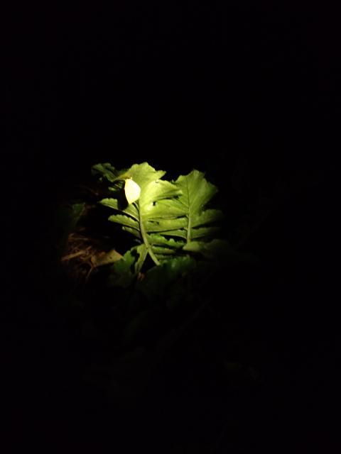 晩秋の蝶と大根1