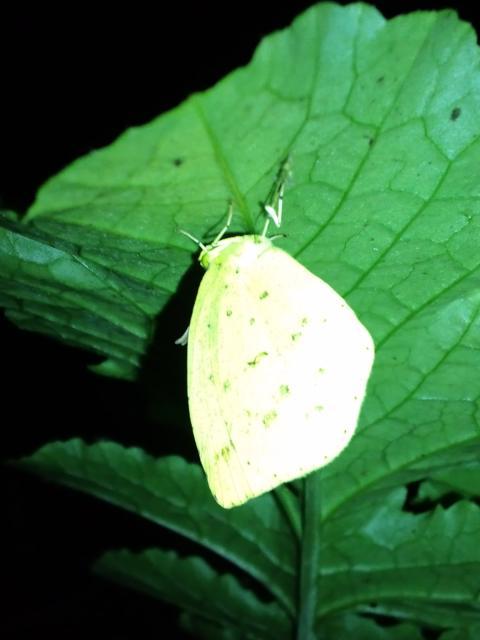 晩秋の蝶と大根4