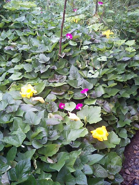 庭の作物6