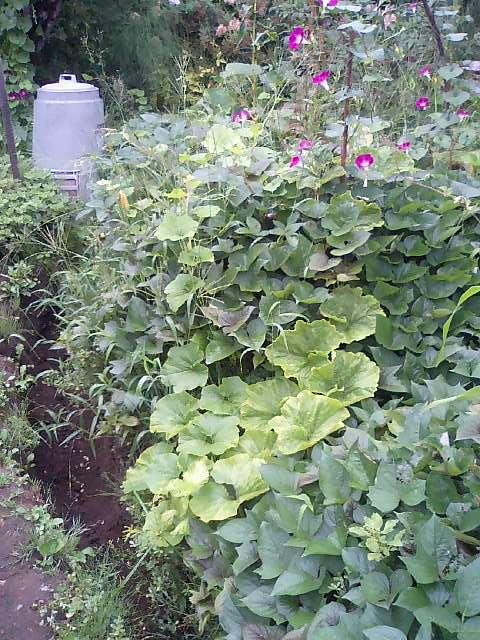 庭の作物8