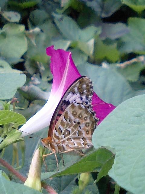 収穫7 蝶