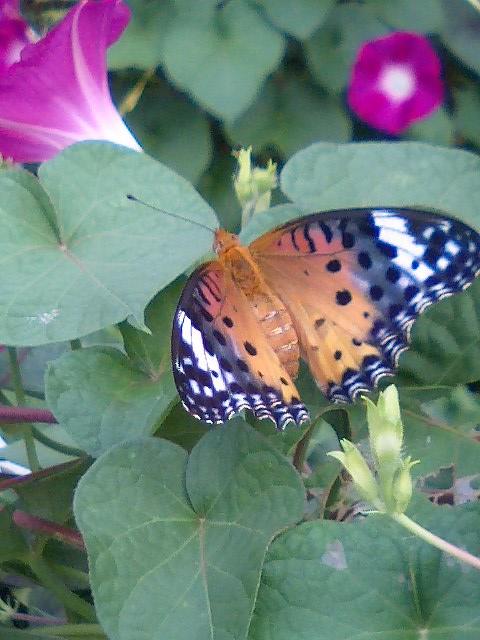 収穫8 蝶