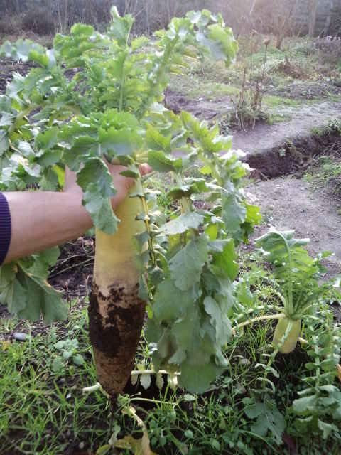 収穫大根2