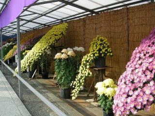 8.菊祭り