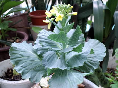 cabbage.jpg