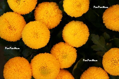黄色 ピンポンマム
