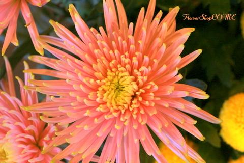 アナシスタ 珍しい菊