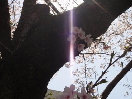 桜19-1